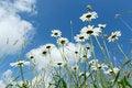 Free Daisy Flower Field Royalty Free Stock Photos - 31867768
