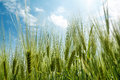 Free Spring Grain With Blue Sky And Sunligt Stock Image - 31867771