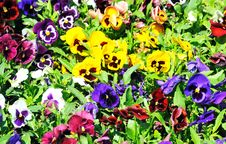 Free Multicolored Pansies On The Meadow. Royalty Free Stock Photography - 31860517