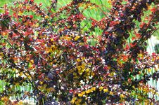 Free Shrub With Burgundy Leaves And Yellow Flowers Stock Image - 31860571