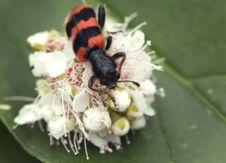 Free Ambrosia Beetle &x28;lat. Trichodes Apiarius&x29;. Royalty Free Stock Image - 31877326