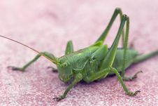 Green Grasshopper &x28;lat Tettigonia Viridissima&x29;. Stock Photos
