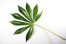 Free Potato Leaf Stock Photo - 31878220
