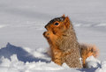 Free Squirrel In Snow Standing Up Eating Stock Photography - 31885492