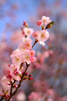 Free Pink Blossom Stock Photos - 31882503