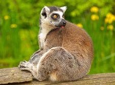 Free Lemur 2 Stock Photography - 31884142