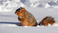 Free Squirrel In Snow In Rut Royalty Free Stock Image - 31885486