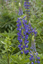 Free Lupine In The Grass Field Stock Photography - 31896982