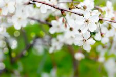 Free The Blossoming Branch Of A Cherry. Stock Photos - 31894673