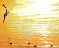 Free Waterfowl Sunrise Royalty Free Stock Photo - 31894755