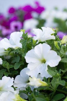Free Beautiful White Petunia Flowers. Royalty Free Stock Image - 31897056
