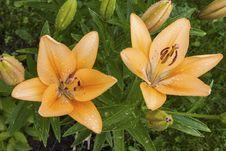 Free Lilium Lancifolium, Lily Stock Photography - 31897072