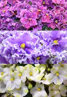 Free Saintpaulia Violets Collage Stock Photos - 31897763