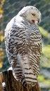 Free Snow Owl 9 Royalty Free Stock Image - 3192216