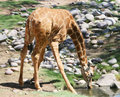 Free Drinking Giraffe Royalty Free Stock Photo - 3197015
