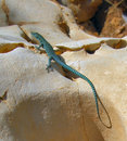 Free Blue Lizard On Yellow Stone Stock Photography - 3197642