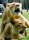 Free Two Lions Royalty Free Stock Photography - 3197867