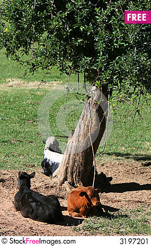 Free Cows In The Shade Stock Image - 3197201