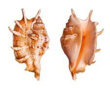 Free Lambis Seashells Stock Image - 3190221