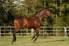 Free Arabian Stallion Running Royalty Free Stock Photos - 3190388