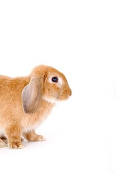 Free Brown-white Bunny Royalty Free Stock Images - 3190599