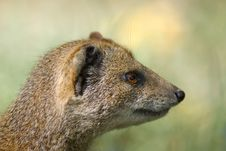 Free Yellow Mongoose Stock Images - 3191214