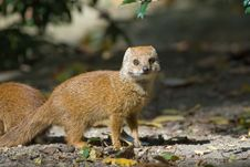 Free Cute Yellow Mongoose Royalty Free Stock Image - 3191216