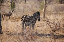 Free Zebras Royalty Free Stock Photos - 3191308