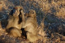 Free Baboons - Best Friends Stock Photos - 3191333