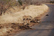 Warthogs Eating Stock Photo