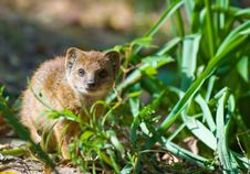 Free Cute Yellow Mongoose Stock Photography - 3191422