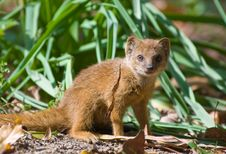 Free Cute Yellow Mongoose Stock Images - 3191434