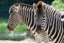 Free Beautiful Zebra Royalty Free Stock Image - 3191446