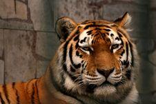 Free Panthera Tigris Altaica(tiger) Stock Photography - 3191992