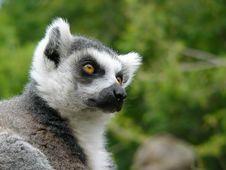 Free Ring Tailed Lemur Stock Photo - 3192240