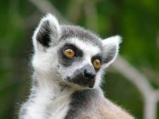 Free Ring Tailer Lemur Portrait Royalty Free Stock Images - 3192279
