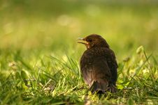 Free Young Curious Ouzel Stock Photography - 3192642