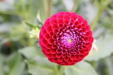 Red Dahlia Royalty Free Stock Images