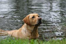 Free Labrador Royalty Free Stock Image - 3193116