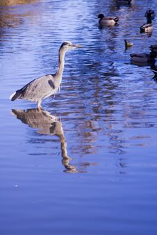 Free Great Blue Heron Royalty Free Stock Photos - 3193418