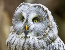 Free Big Grey Owl 1 Royalty Free Stock Photography - 3193817