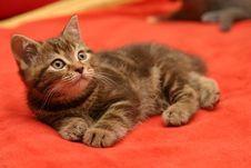 Free British Shorthair Kitten Royalty Free Stock Photo - 3193855