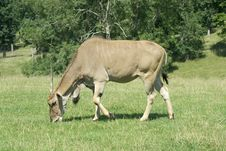 Free Common Eland Grazing Stock Image - 3194031