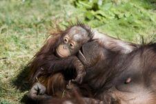 Free Orangutan Baby Stock Photography - 3194372