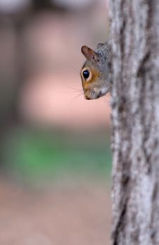 Free Close-Up: Squirrel Royalty Free Stock Photos - 3194728