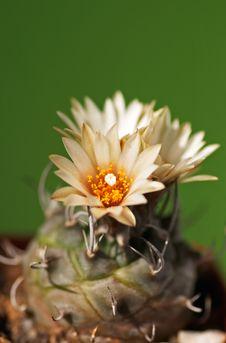 Free Turbinicarpus Royalty Free Stock Photography - 3195557