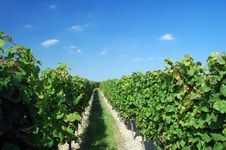 Free A German Vineyard Near The Rhe Royalty Free Stock Images - 3195669