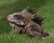 Free Wild Iguana Portrait Stock Photos - 3196033