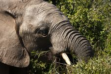Free Bull Elephant Chewing Royalty Free Stock Photos - 3196278