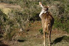Free Kudu Female Licking Herself Royalty Free Stock Photos - 3197068